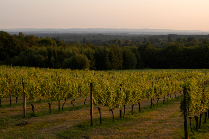 English Wine Vineyard
